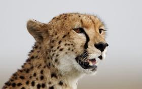 Картинка кошка, взгляд, морда, гепард