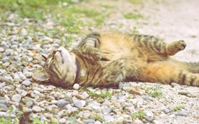 Обои кошак, лежит, котяра, камушки