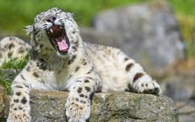 Картинка кошка, камень, пасть, ирбис, снежный барс, зевает, ©Tambako The Jaguar