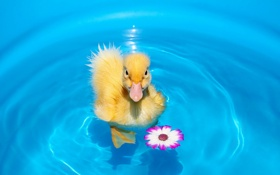 Обои pet, duck, first swim, animal
