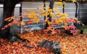 Обои осень, деревья, камни, листва, Япония, клен