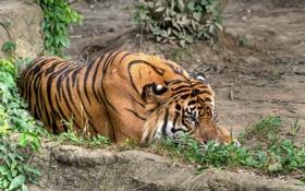 Обои кошка, трава, тигр, отдых, суматранский