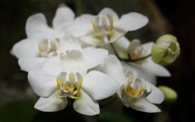 Картинка макро, цветы, лепестки, белые, орхидеи