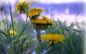 Обои grass, flowers, dandelions, bokeh, bottle