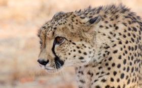 Картинка хищник, гепард, профиль