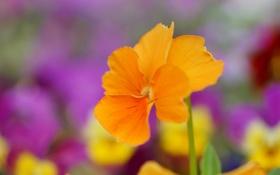 Обои цветок, желтый, анютины глазки, виола