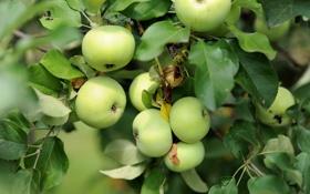 Обои листья, ветки, яблоки
