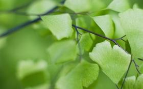 Обои зелень, листья, макро, природа, веточка, растение, гинкго билоба