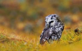 Обои иголки, ветки, птица, мохноногий сыч