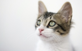 Картинка кошка, котенок, мордочка, светлый фон