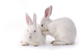 Картинка Кролики, пара, пушистики