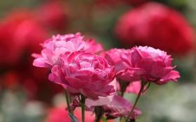 Обои роза, лепестки, куст