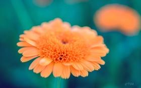 Картинка цветок, макро, оранжевый, обои, лепестки, зелёный, puxa