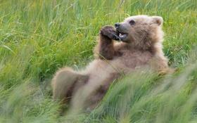 Картинка трава, отдых, медведь, Аляска, луг, Alaska, Lake Clark National Park