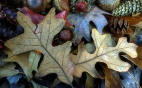 Обои осень, лист, орех, шишка, плод, желудь