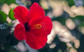 Обои цветок, лепестки, красный