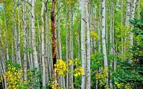 Обои осень, листья, деревья, роща, осина