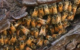 Обои насекомые, гнездо, дикие пчёлы