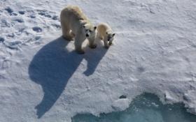 Обои природа, медведи, север