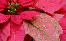Обои цветок, капли, пуансетия, рожественская звезда