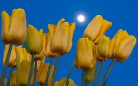 Картинка небо, луна, лепестки, стебель, тюльпаны