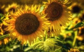 Картинка желтые, подсолнухи, лепестки, лето