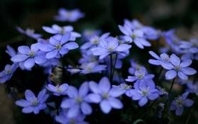 Обои макро, цветы, растения, голубые, синие