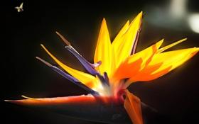 Картинка цветок, пчела, насекомое, райская птица, стрелиция