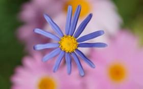 Картинка цветок, цветы, сиреневый, фокус, размытость, розовое, хризантема