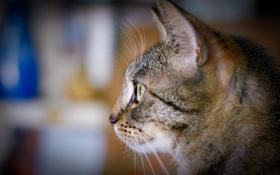Обои кот, наблюдение, интерес, кошка