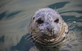 Обои усы, морда, вода, тюлень