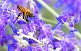 Обои растение, насекомое, пчела, природа, цветок