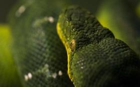 Обои макро, зеленый, змея, голова, чешуя