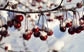 Обои зима, снег, ягоды