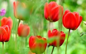 Обои природа, тюльпаны, луг, лепестки