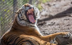 Картинка дикая кошка, зевает, пасть, зоопарк, клыки, хищник, тигр