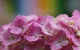 Картинка цветок, макро, розовая, гортензия