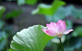 Обои листья, макро, лепестки, Лилия, зеленые, розовые