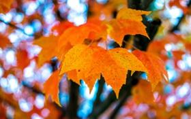 Картинка осень, листья, макро, клен