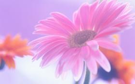 Обои цветок, розовая, гербера