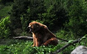 Картинка мишка, зевает, трава, медведь