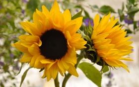 Картинка подсолнухи, желтые, два, декоративные