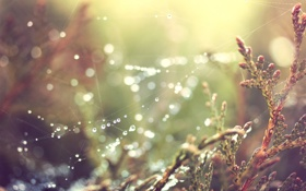 Обои трава, капли, роса, растения, паутинка
