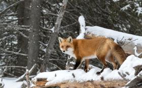 Обои лес, снег, деревья, хищник, лиса, рыжая, лисица