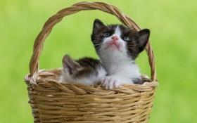 Обои корзина, котята, малыши