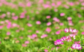 Обои природа, обои, поле, фото, цветы
