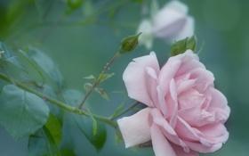 Обои листья, бутоны, роза, лепестки, розовая, размытость