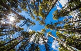 Обои лес, деревья, вершины, стволы, небо