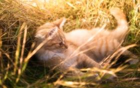 Картинка трава, котенок, рыжий