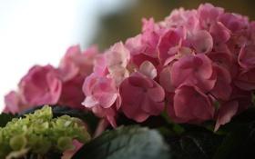 Обои макро, гортензия, © Elena Di Guardo, соцветие